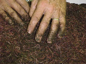The red wiggler worm is frequently used for vermicomposting.