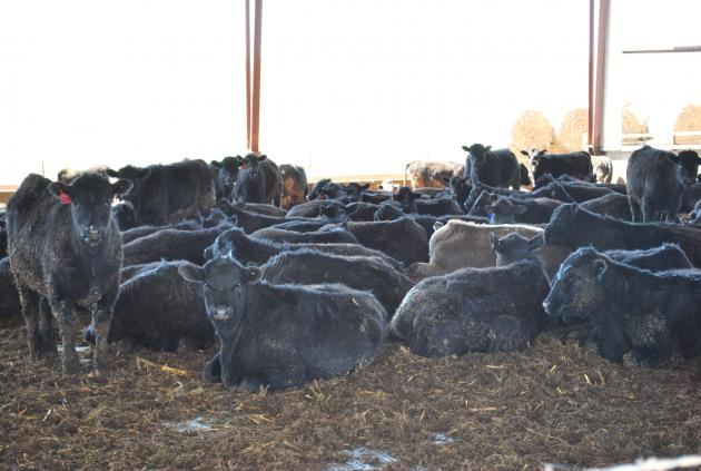 cattle loafing on a bed pack in their barn
